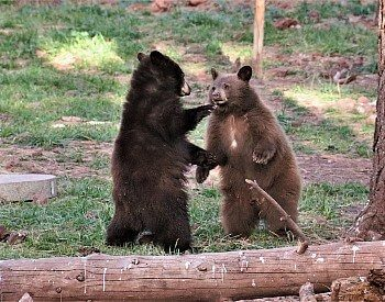 Two brown bears standing up towards each other behind a log fence in a wooded area