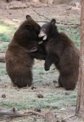 2 bears standing up and fighting